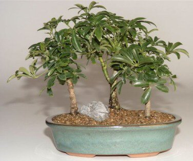 Hawaiian Umbrella Bonsai Tree 3 Tree Forest Group(Arboricola Schefflera 'Luseanne')