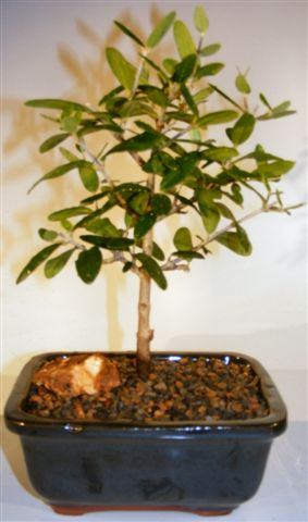 Flowering and Fruiting Arbequina Olive Bonsai Tree<br><i>(arbequina)</i>