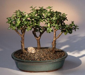 Baby Jade - 3 Bonsai Tree Group(portulacaria afra)