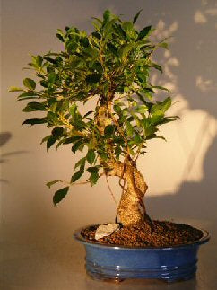Ficus Retusa Golden Coin Bonsai Tree<br><i></i> Curved Trunk - Extra Large <br><i>(ficus retusa)</i>