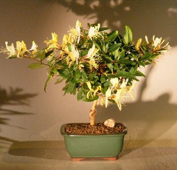 Flowering Japanese Honeysuckle Bonsai Tree - Medium<br><i>(lonicera japonica 'halliana' purpurea)</i>