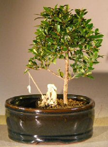 Flowering Brush Cherry Bonsai Tree <br>Land/Water Pot - Small <br><i>(eugenia myrtifolia)</i>