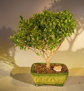Ficus Retusa Bonsai Tree (Melon Seed) Complete Starter Kit