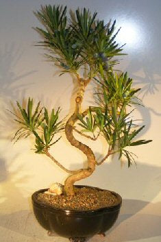 Flowering Podocarpus Bonsai Tree Curved Trunk Style - Large(podocarpus macrophyllus)
