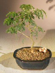 Flowering Brazilian Raintree Bonsai Tree - Small <br><i>(pithecellobium tortum)</i>