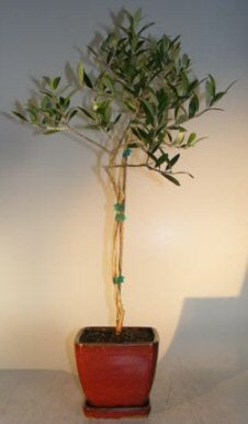 Flowering and Fruiting Arbequina Olive Bonsai Tree - Twist Style <br><i>(arbequina)</i>