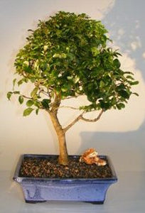 Flowering Ligustrum Bonsai Tree - Large<br><i>Upright Style</i>