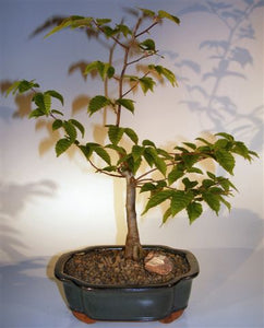 Flowering Japanese Loose Hornbeam Bonsai Tree<br><i> (carpinus laxiflora)</i>