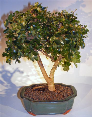 Flowering Campeche Bonsai Tree - Large <br><i>(haematoxylum campechianum)</i>