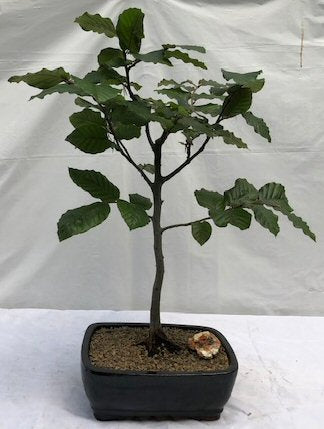 European Beech Bonsai Tree<br><i>(fagus sylvatica)</i>