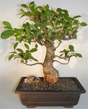 Styled Ficus Tiger Bark Straight Bonsai Medium