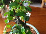 Styled Fukien Tea Bonsai Extra-Large OUT OF STOCK