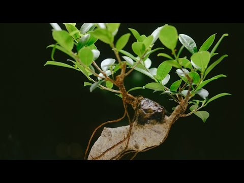 Styled Ficus Tiger Bark Bonsai Small