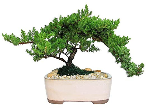 "Juniper Bonsai Tree in a 7"" pot  Medium"