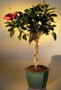Flowering Tropical Red Hibiscus<br>Braided Trunk<br><i>(rosa sinsensis)</i>