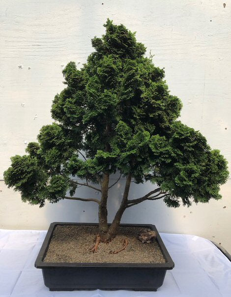 "Dwarf Hinoki Cypress Bonsai Tree<br><i>(chamecyparis ""gracillis"") </i>"