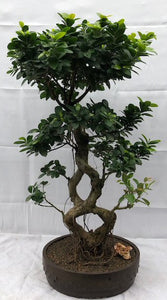 Fruiting Green Emerald Ficus Bonsai Tree<br>Braided Trunk <br><i>(ficus microcarpa)</i>