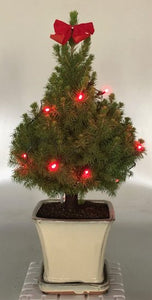 Dwarf Alberta Spruce Bonsai Tree<br><i>With Christmas Lights<br><i>(picea glauca conica)</i>
