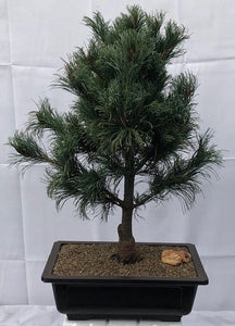 Japanese White Pine Bonsai Tree <br><i>(pinus parviflora 'bergman')</i>