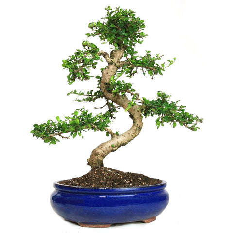 Fukien Tea Bonsai Tree -(ehretia microphylla) Large