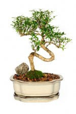 Serissa Foetida (Japonica) 6 years old Medium