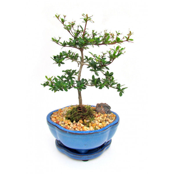 Black Olive Bucida Spinosa Bonsai Small-