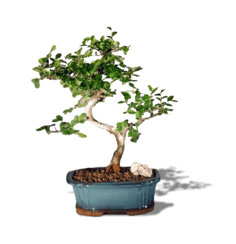 Create Your Own Bonsai- Chinese Elm