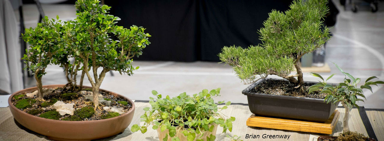 Indoor and Outdoor bonsai trees