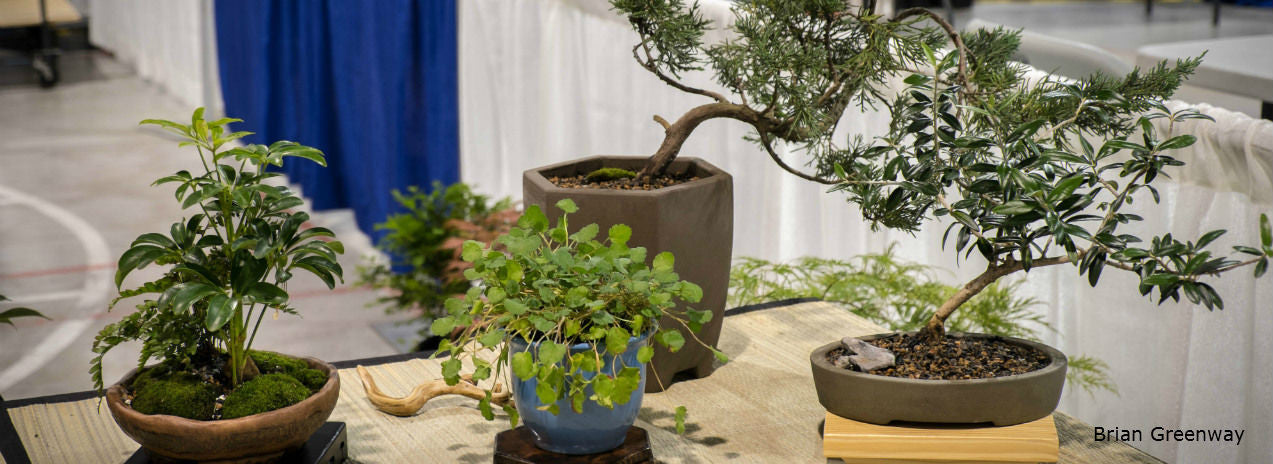 Bonsai trees for Canada and the USA