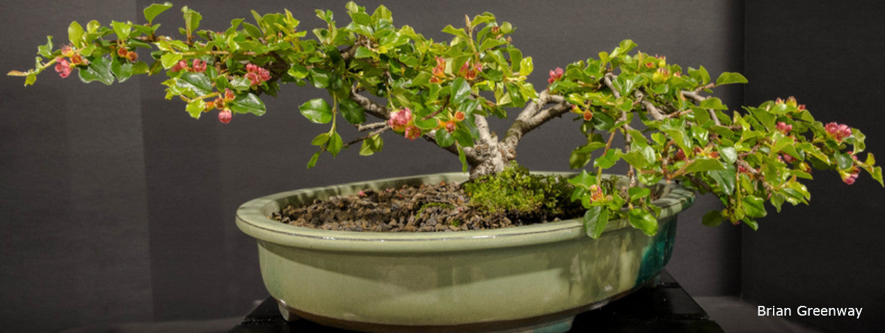 Bonsai trees, pots and supplies