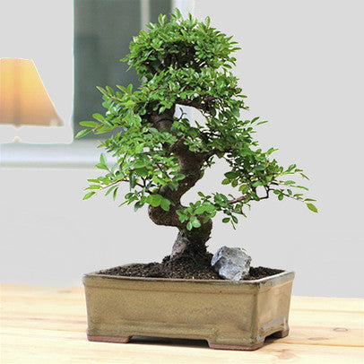 indoor-bonsai-usa