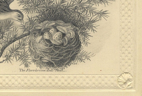S.C., The Aberdevine and Nest - Original early 19th-century graphite drawing