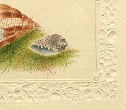 Seashell Study on Seaweed - Original early 19th-century watercolour painting