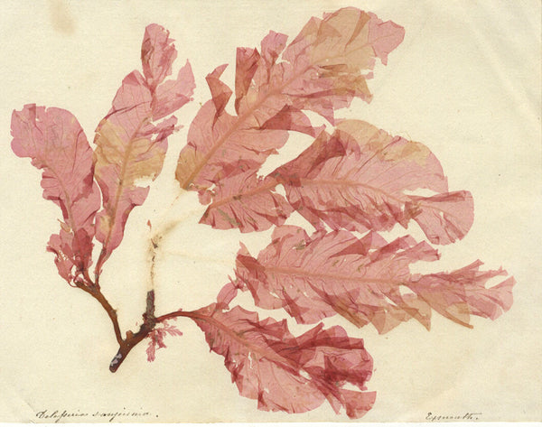 Delesseria Sanguinea - Original 19th-century pressed leaf