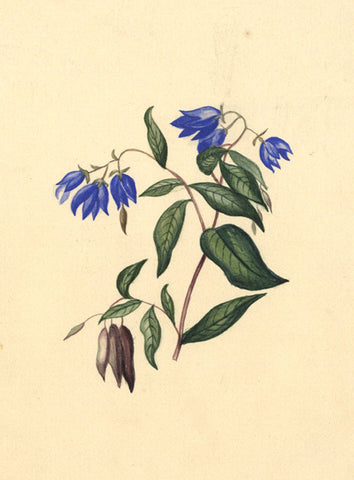HB, Blue Flower Study - Original 1844 watercolour painting