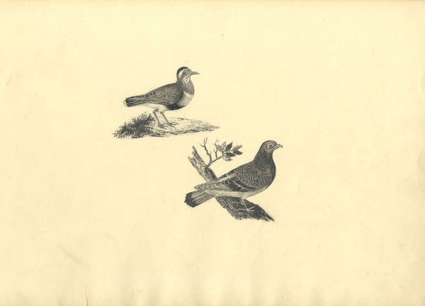 Birds, Pigeon & Rock Pipit - Original early 19th-century graphite drawing