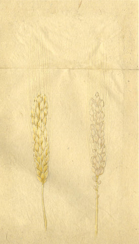 Wheat Plant - Original 19th-century Japanese watercolour painting