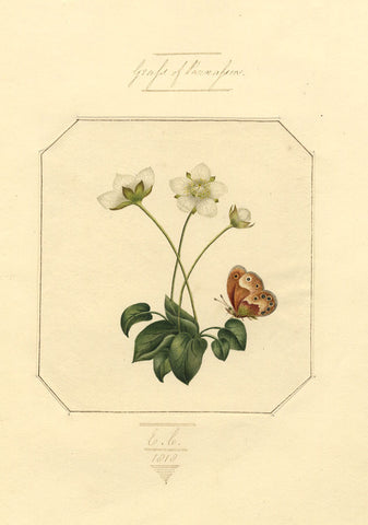 E.C., Grass of Parnassus Flower & Butterfly - Original 1818 watercolour painting