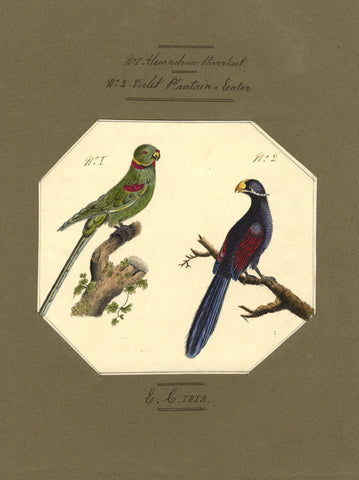 E.C., Alexandrine Parakeet & Violet Plantain Eater Birds - Original 1813 watercolour painting