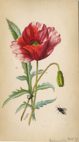 Poppy Flower with Ladybird - Original 1877 watercolour painting