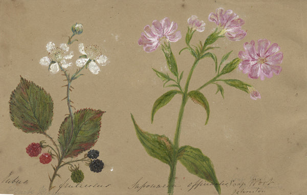 Botanical Studies feat. Blackberry & Soapwort Flower - Original 1860 watercolour painting