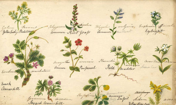 Botanical Studies feat. Eyebright & Cranesbill - Original 1860 watercolour painting