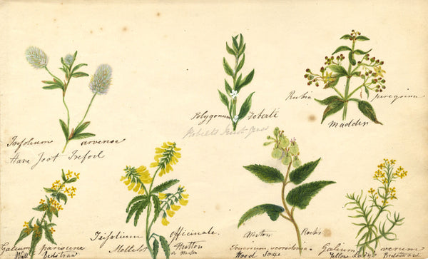 Botanical Studies feat. Wood Sage & Lady's Bedstraw  - Original 1860 watercolour painting