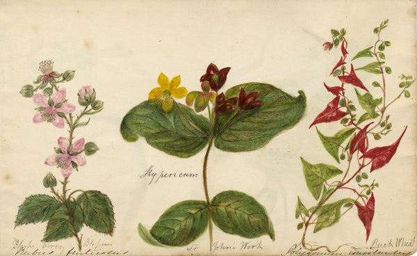 Botanical Studies feat. St John's Wort, Buck Wheat - Original 1860 watercolour painting