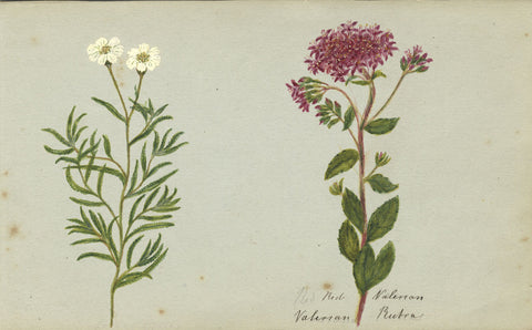 Red Valerian Flower - Original 1860 watercolour painting