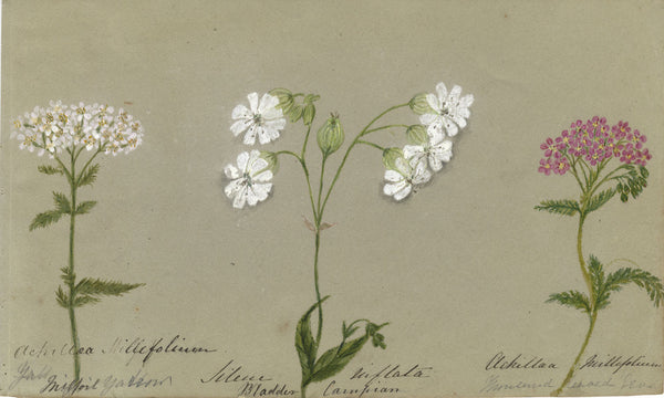 Botanical Studies feat. Yarrow Flowers - Original 1860 watercolour painting
