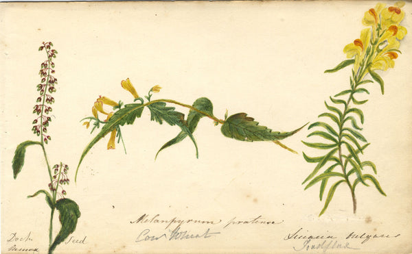 Botanical Studies feat. Cow Wheat & Toadflax Flowers - Original 1860 watercolour painting