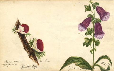 Foxglove Flower & Jew's Ear Mushroom - Original 1860 watercolour painting