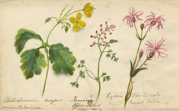 Botanical Studies feat. Ragged Robin, Lesser Celandine Flowers - Original 1860 watercolour painting