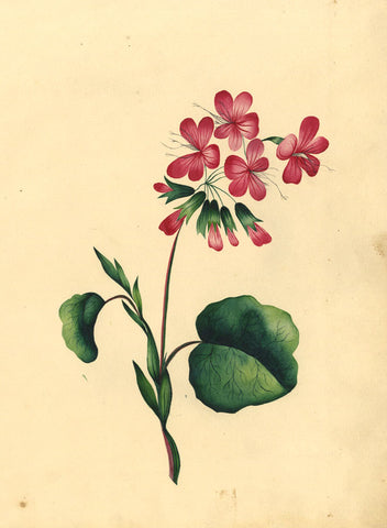 Fanny Atkinson, Pink Sorrel Flower - Original 1845 watercolour painting